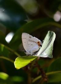 キリシマミドリシジミ 7月22日 - 超蝶