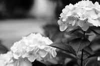 白い紫陽花と孫たちの週末 - 照片画廊