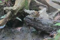 ヤブサメの幼鳥 - 上州自然散策2