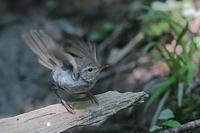 ウグイスの幼鳥 - 上州自然散策2