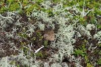 ダイセツタカネヒカゲ大雪山のお花畑で - 蝶のいる風景blog