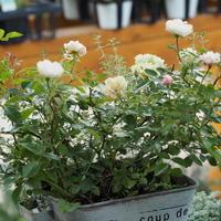 グリーンアイズの寄せ植え - sola og planta ハーバリストの作業小屋