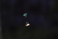 陽が出ればゼフ登場~アイノミドリシジミ - チョウ!お気に入り