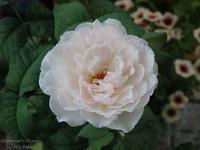 Sharifa Asma〜忘れられない王女 - Gardener*s Diary