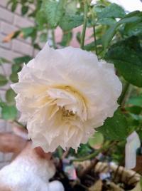 仕事の流儀(プロフェッショナルとは?) - ローズ &ハーブの小さなおもてなしサロン~ligare flora~