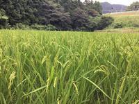 冬期湛水の稲 - 自然栽培 果樹カナン