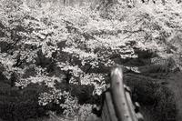 山桜ではなく - Life with Leica