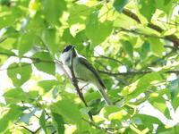 乙女高原にいたカラの仲間 - コーヒー党の野鳥と自然 パート2