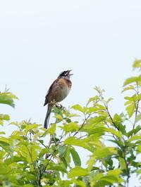 梢のホオジロ - コーヒー党の野鳥と自然 パート2