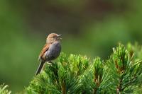 カヤクグリ祭り♪ - 北の大地で野鳥ときどきフライフィッシング