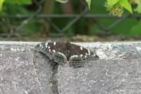 オオイチモンジ北海道の蝶 - 蝶のいる風景blog