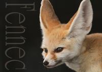 フェネック:Fennec - 動物園の住人たち写真展(はなけもの写眞店)