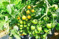 ミニトマトが豊作!!今年はバケツいっぱいミニトマト - 畑であそぶ ~のんびり家庭菜園・畑しごと~