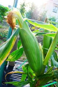 ギリギリ収穫!?とうもろこし - 畑であそぶ ~のんびり家庭菜園・畑しごと~