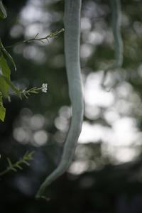 今日の向島百花園ヘビウリ、オミナエシ、ミソハギ、オニユリ - みるはな写真くらぶ