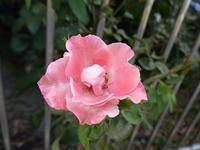 23日に資生堂で薔薇の写真撮りました。 - 写真で楽しんでます!