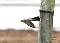 カッコウは、自分を育てた種に托卵する - THE LIFE OF BIRDS ー 野鳥つれづれ記