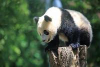 シャンシャンすくすく30kgを突破 - 動物園のど!