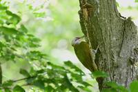 葉っぱの向こうでアオゲラサンコウチョウ - 鳥さんと遊ぼう