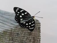 小貝川ふれあい公園でチョウを観察 - コーヒー党の野鳥と自然 パート2