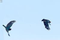 森の宝石ブッポウソウ - 野鳥公園