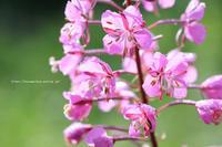 ヤナギランの咲く、上ノ平高原は今朝20度でした - 野沢温泉とその周辺いろいろ