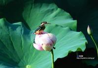 蓮の花にカワセミ ⑤ - azure 自然散策 ~自然・季節・野鳥~
