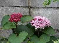 <ボタンクサギ>が咲いてます - 【出逢いの花々】