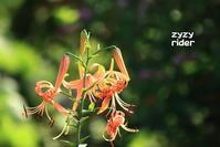 暑くるしいオニユリの花 - ジージーライダーの自然彩彩