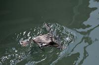 船溜まりで潜水ウミスズメ‐Ⅴ - いい男の「歩々是道場」
