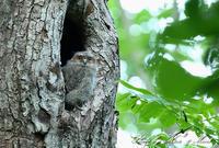 初見♪初撮り♪「オオコノハズク」さん親子♪は私の宝物に♪ byミント編 - ケンケン&ミントの鳥撮りLifeⅡ