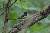 クロツグミが増えた! ~今週のウトナイ湖≪鳥編≫ - やぁやぁ。