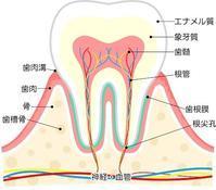 歯についてお勉強 - Dr細田のブログ
