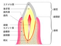 歯を支えている周りの組織 - Dr細田のブログ