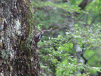 高原でアカゲラ - 『彩の国ピンボケ野鳥写真館』