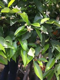 夏みかんの収穫 - 小さな秘密の花園で Mayumin's rose garden&table