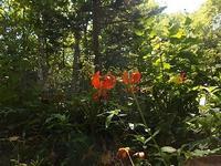 森のユリ - 北緯44度の雑記帳