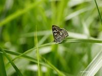 クロシジミ - 飛騨山脈の自然