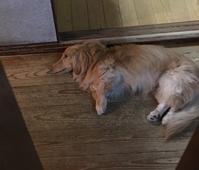 うちの子たち、犬のくせに寒がりなんです - きょうのはなwithくるみ~愛犬写真日記~