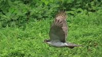 グリーン背景にオオタカお父さんの飛翔 - Life with Birds 3