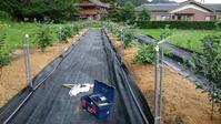 ブルーベリー植え付け16ヵ月後の状況 in 周南市 - 初めてのブルーベリー栽培記
