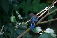 半分青い♪ オオルリ 幼鳥 - 鳥さんと遊ぼう