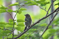亜高山の夏鳥 その5 - 瑞穂の国の野鳥たち