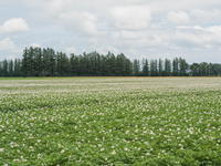 十勝の夏の農村風景~ジャガイモの花と黄金色の小麦畑~ - 十勝・中札内村「森の中の日記」~café&宿カンタベリー~