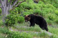 北海道遠征25ヒグマの親子 - 比企丘陵の自然