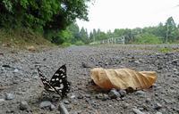 ゴマダラチョウの2化 - 秩父の蝶