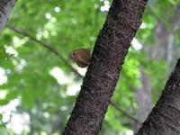 ジャノメチョウの避暑 - 秩父の蝶
