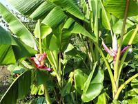 バナナの花 - だんご虫の花