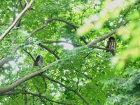 アオバズクの親子・・・高尾 - 浅川野鳥散歩