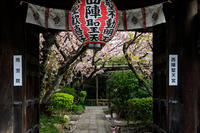 桜咲く京都2018 雨宝院に咲く観音桜・歓喜桜 - 花景色-K.W.C. PhotoBlog